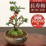 遊恵盆栽 長寿梅